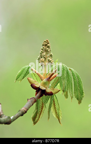 Horse Chestnut (Aesculus hippocastanum), leaves and bud, North Rhine-Westphalia, Germany, Europe - Stock Photo