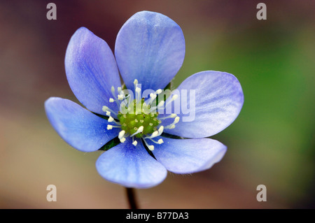 Kidneywort, Liverwort or Pennywort (Hepatica nobilis), Provence, Southern France, France, Europe - Stock Photo