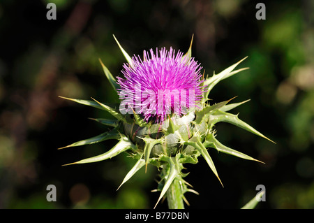 Milk Thistle or Our Lady's Thistle (Silybrum marianum, Carduus marianus), Provence, Southern France, France, Europe - Stock Photo