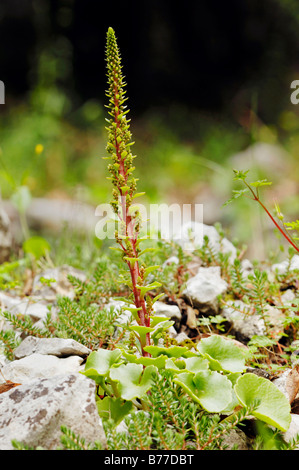 Navelwort, Penny-Pies or Wall Pennywort (Umbilicus rupestris), Provence, Southern France, France, Europe - Stock Photo