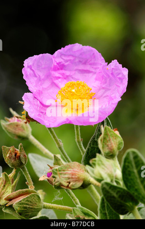 Gray-leaved Cistus, Gray-leaved Rockrose (Cistus albidus), Provence, Southern France, France, Europe - Stock Photo