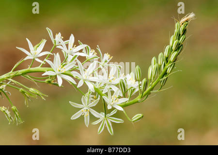 Narbonne Star of Bethlehem, Southern Star of Bethlehem or Pyramidal Star of Bethlehem (Ornithogalum narbonense), - Stock Photo