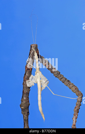 Stick Insect (Sipyloidea sipylus), casting off its skin - Stock Photo