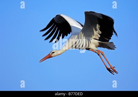 White Stork (Ciconia ciconia) in flight, North Rhine-Westphalia, Germany, Europe - Stock Photo