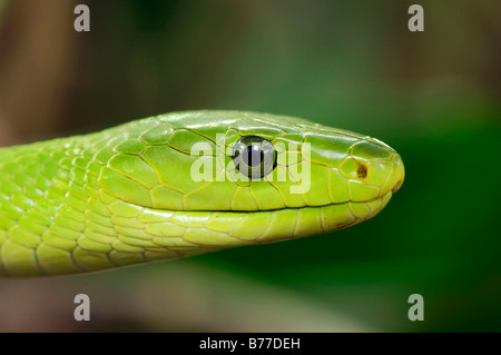 Eastern Green Mamba (Dendroaspis angusticeps), portrait - Stock Photo