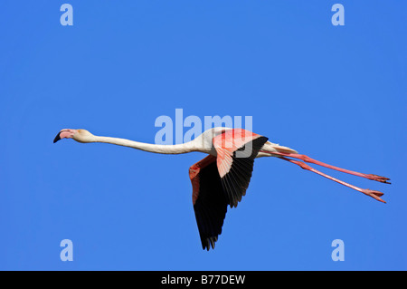Greater Flamingo (Phoenicopterus ruber roseus) in flight, Camargue, Provence, South France, Europe - Stock Photo