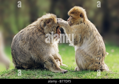 Barbary Macaques (Macaca sylvanus), cleaning each others fur - Stock Photo