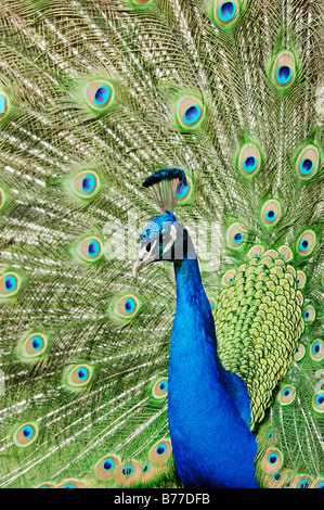 Indian, Common, or Blue Peafowl (Pavo cristatus), male, displaying - Stock Photo