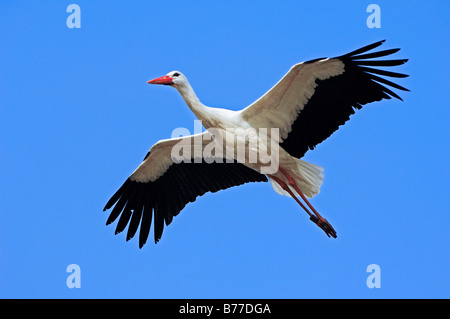 White Stork (Ciconia ciconia) in flight, North Rhine-Westphalia, Germany, Europe - Stock Photo