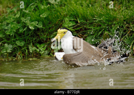 Masked Plover, Spur-winged Plover (Vanellus miles), bathing - Stock Photo