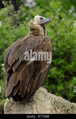 Eurasian Black Vulture (Aegypius monachus) - Stock Photo