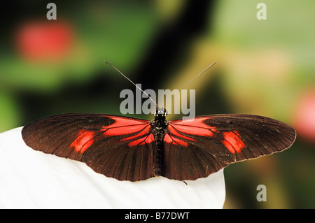 Small Postman, Red Passion Flower Butterfly, Crimson-Patched Longwing (Heliconius erato) - Stock Photo