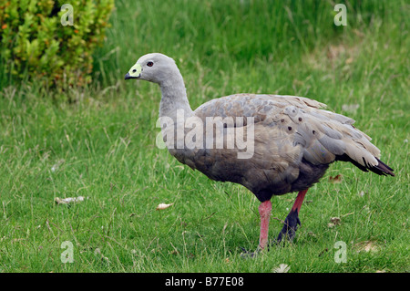 Cape Barren Goose (Cereopsis novaehollandiae) - Stock Photo