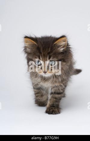 Cute six week old kitten - Stock Photo