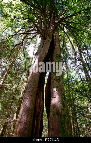 Tree in the wildlife park, Paterzeller Eibenwald, yew tree forest near Wessobrunn, Upper Bavaria, Bavaria, Germany, - Stock Photo