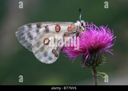 Apollo or Mountain Apollo Butterfly (Parnassius apollo) - Stock Photo