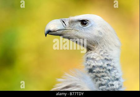 Griffon Vulture or Eurasian Griffon Vulture (Gyps fulvus) - Stock Photo