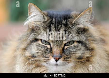 House cat, long-haired, tabby, portrait - Stock Photo
