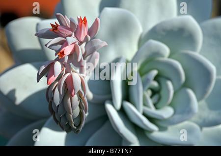 Echeverie (Echeveria laui) abloom - Stock Photo