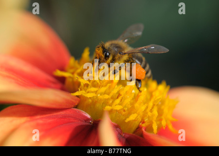 Honey bee (Apis spec.) gathering pollen from a flower Stock Photo