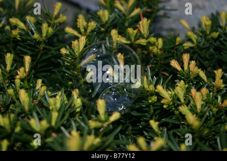 A close-up of a soap bubble that has landed on a yew bush. - Stock Photo