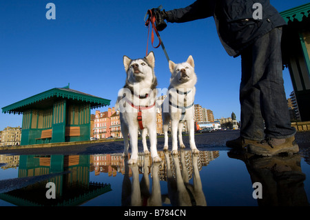 A pair of brother and sister Siberian husky dogs with their owner on a cold winter morning in Brighton, UK. - Stock Photo