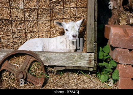 Spring lamb laying in haystack on the farm - Stock Photo