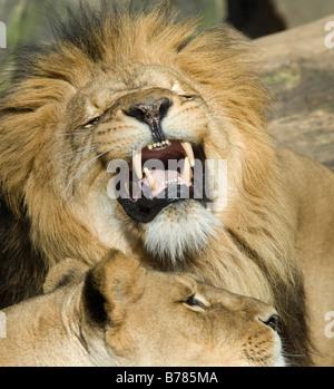 beautiful male lion showing its teeth - Stock Photo