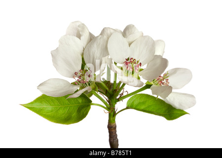 inflorescence of apple flowers isolated on white - Stock Photo