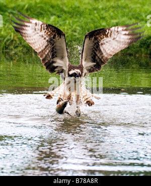 Osprey   Pandiom haliaetus - Stock Photo