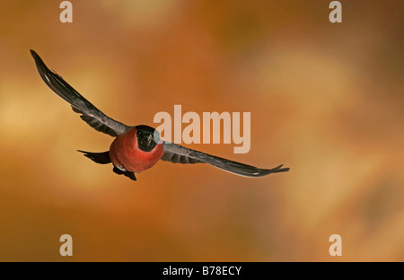 Male Bullfinch, Common Bullfinch or Eurasian Bullfinch (Pyrrhula pyrrhula) in flight - Stock Photo