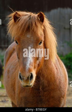 Icelandic horse (Equus ferus caballus), portrait - Stock Photo