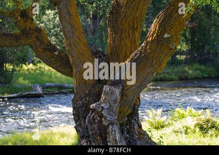 mighty willow tree - Stock Photo