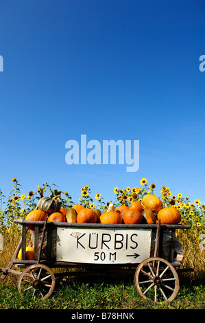Pumpkins (Cucurbita pepo var. patisson) in a cart in front of a sunflower field, Kuhnhof, Middle Franconia, Bavaria, - Stock Photo