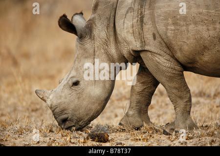 Portrait of a baby white rhino