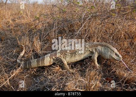 Nile Monitor lizard or leguaan in dry veld - Stock Photo
