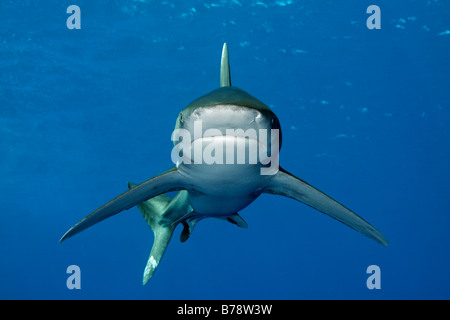 Oceanic whitetip shark (Carcharhinus longimanus) in blue water, frontal view, Daedalus Reef, Hurghada, Red Sea, - Stock Photo