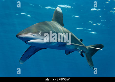 Oceanic whitetip shark (Carcharhinus longimanus) in blue water, Daedalus Reef, Hurghada, Red Sea, Egypt, Africa - Stock Photo