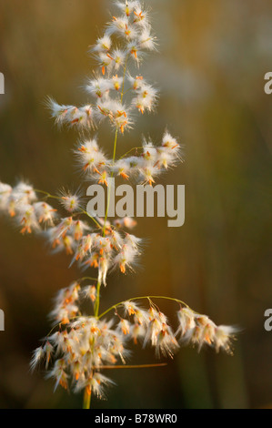 An African grass seed head (Rhynchelytrum repens) showing anthers - Stock Photo