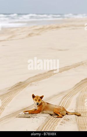 Dingo (Canis lupus dingo) on the beach of Fraser Island, Queensland, Australia - Stock Photo