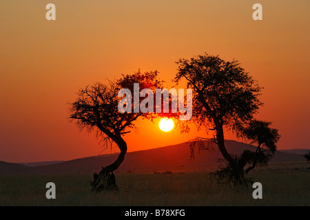 Two camel thorn trees silhouetted against a sunset in the Namib desert - Stock Photo