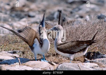 Blue-footed Booby pair (Sula nebouxii) courtship dance, Insel Espanola, Galapagos Inseln, Galapagos Islands, Ecuador, - Stock Photo