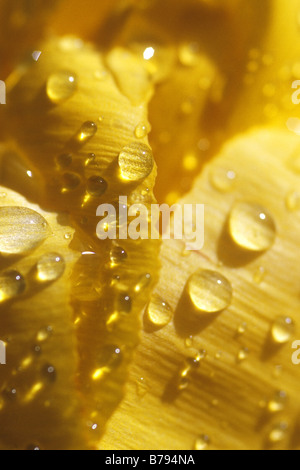 Close-up of dew drops on a yellow tulip. - Stock Photo