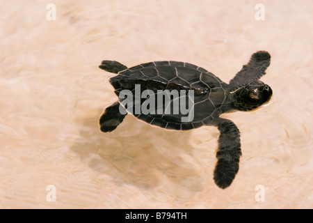 A green turtle hatchling swims out off a beach after walking from where he hatched. - Stock Photo