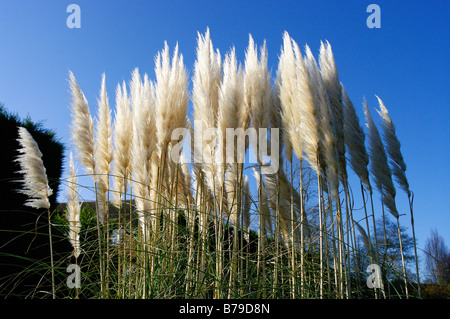 Pampas grass blowing in a December breeze - Stock Photo