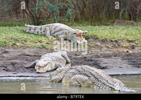 Crocodiles at Lake Chamo, Arba Minch, Ethiopia, Africa - Stock Photo