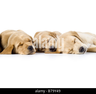 9 week old Labrador cross Golden Retriever Puppies sleeping in a row on white background - Stock Photo