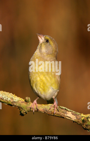 greenfinch carduelis chloris perched on branch - Stock Photo