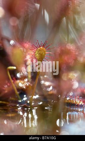 Spoonleaf Sundew (Drosera intermedia) and reflexes in the water, Huvenhoopsmoor, Lower Saxony, Germany, Europe - Stock Photo