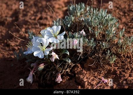 Stemless Evening Primrose Oenothera caespitosa - Stock Photo